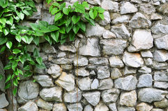 Stone wall and vine Royalty Free Stock Photography