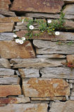 Stone wall with white flowers. Closeup Stock Image