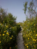 Stone way with yellow flowers on the side Royalty Free Stock Image