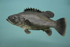 Stonebass Fish Stock Images
