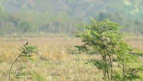 Stonechat鸟和其他鸟在含羞草射击 股票录像
