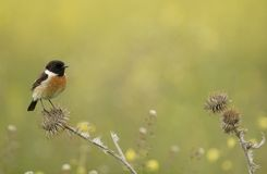 Stonechat. Male Stonechat on a thistle Stock Photo