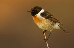 Stonechat. Sitting on a branch Royalty Free Stock Photography