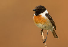 Stonechat. Sitting on a branch Stock Photography