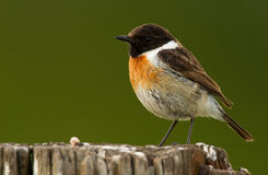Stonechat Stock Photos