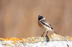 Stonechat. (Saxicola torquata) standing on rock Stock Photography