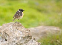 Stonechat. African Stonechat perched on a rock Stock Image