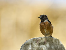 Stonechat Royalty Free Stock Photography