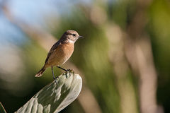 Stonechat. A african stonechat on a green leaf Stock Photography