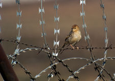 Stonechat on barbed wire Stock Images