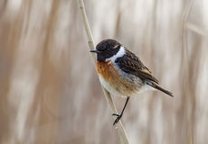 Stonechat bird Royalty Free Stock Image