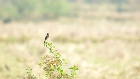 Stonechat bird on the plant shoot stock footage
