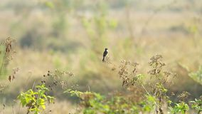 Stonechat bird on the top of the plant stock footage