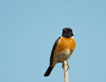 Stonechat on branch looking right Royalty Free Stock Photos