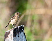 Stonechat on burnt stump from side Stock Images