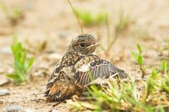 Stonechat chick (Saxicola torquata) Stock Photos