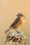 Stonechat commun Photos libres de droits