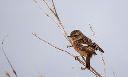 Stonechat on the Edge of Tree Royalty Free Stock Photography