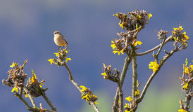 Stonechat female lands on the branch royalty free stock photo