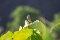 Stonechat female in nature. Stonechat female perched on plant in nature Stock Images