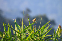Stonechat female in nature. Stonechat female perched on plant in nature Royalty Free Stock Photos