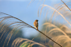Stonechat female in nature. Stonechat female perched on plant in nature Royalty Free Stock Photography