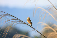 Stonechat female in nature. Stonechat female perched on plant in nature Stock Photo