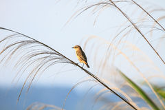Stonechat female in nature. Stonechat female perched on plant in nature Stock Photography