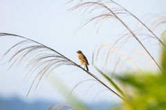 Stonechat female in nature. Stonechat female perched on plant in nature Stock Image