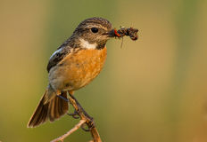 Stonechat with food. Stonechat with a insect meal Stock Photography