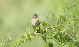 Stonechat on green twig Royalty Free Stock Photo