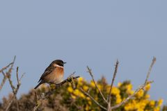 Stonechat on a grose bush royalty free stock photography