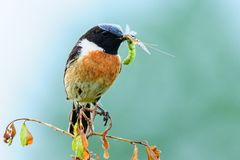 Stonechat with hatched dragonfly in the beak. Stonechad Saxicola torquata male sitting on a branch. He caught the hatched dragonfly. Photographed with telephoto Royalty Free Stock Photos