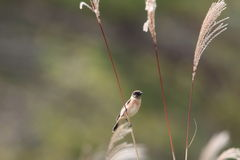 Stonechat on Japanese pampas grass Stock Photography