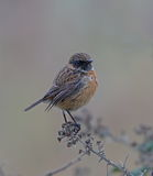 Stonechat. Male Stonechat at Cley,Norfolk royalty free stock images