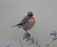 Stonechat Stock Images