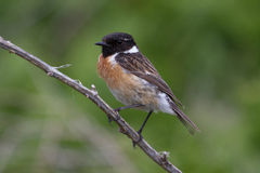 Stonechat. Male stonechat perched on barmbles Stock Image
