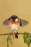 Stonechat male perched on a branch. On a brown background Royalty Free Stock Photo