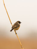 Stonechat. A male Stonechat (Saxicola rubicola) perching on a reed branch Royalty Free Stock Photography