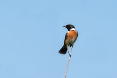 Stonechat,male (Saxicola torquata). Stonechat, male (Saxicola torquata) on a branch against the blue sky Stock Images