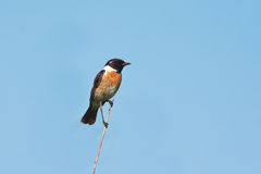 Stonechat, male (Saxicola torquata). On a branch against the blue sky Stock Image