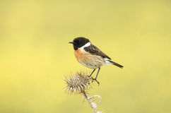 Stonechat. A male Stonechat on a thistle Stock Images