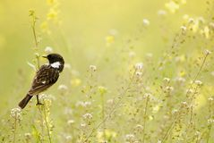 Stonechat perched on the flowers. Male Stonechat perched on the flowers of the field Royalty Free Stock Image