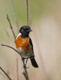 Stonechat posing Royalty Free Stock Images