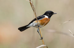 Stonechat posing on grass stalk Royalty Free Stock Photos