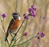 Stonechat in purple bush Royalty Free Stock Images
