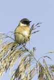Stonechat resting on reed / Saxicola torquata Royalty Free Stock Image