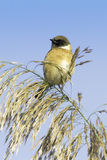 Stonechat resting on reed / Saxicola torquata Royalty Free Stock Photography
