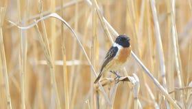 Stonechat Saxicola bird Stock Images