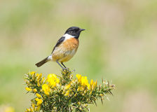 Stonechat (Saxicola rubicola). Close up of a male Stonechat perched on a Gorse bush Royalty Free Stock Photos